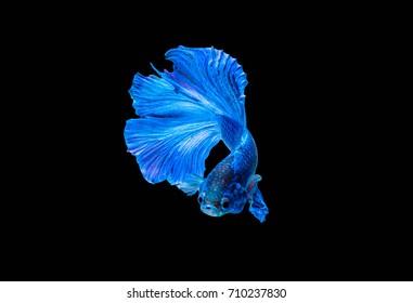 Blue Half moon Betta fish or Siamese Fighting fish.