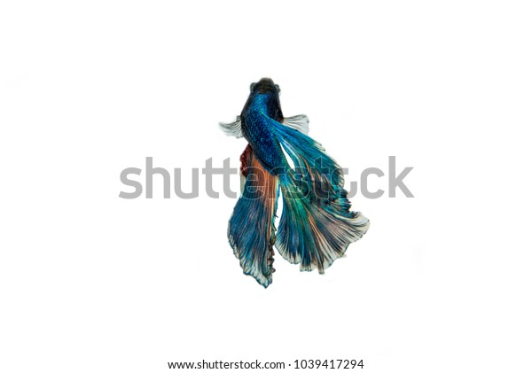 Blue half moon fighting fish, isolated white background