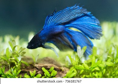Blue halfmoon betta fish