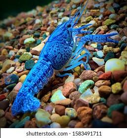 Blue crayfish—taken in Hammond, Indiana
