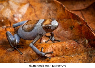 Blue Harlequin poison dart frog, Oophaga histrionica. A small tropical exotic poisonous dartfrog from the rain forest of Colombia.