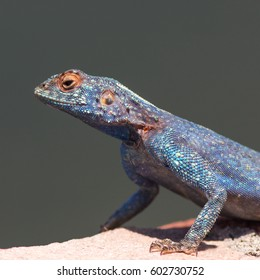 Blue headed agama posing for the camera