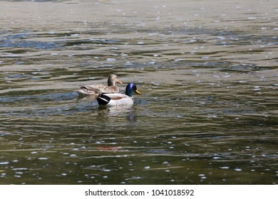A Blue Headed Mallard and mate glisten in the sunlight  on the Los angeles River