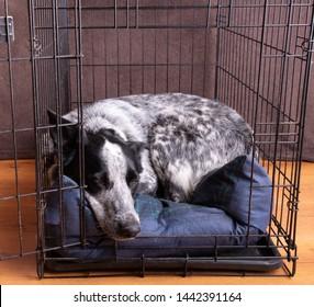 Blue Heeler asleep in her open crate
