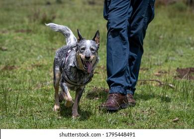 Blue heeler Australian cattle dog walking beside man in blue trousers
