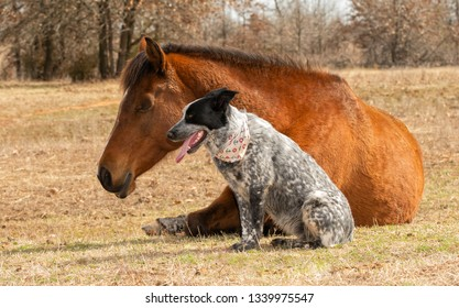 Blue Heeler cross dog sitting next to her sleeping Arabian horse friend in a sunny winter pasture