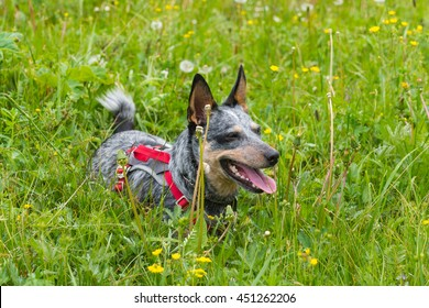 Blue Heeler Dog playing in a mountain meadow