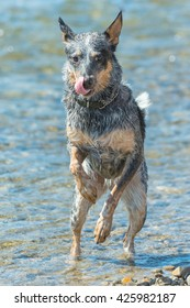 Blue Heeler Dog playing in the river,