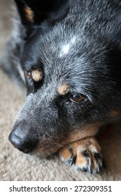 A blue heeler dog at rest