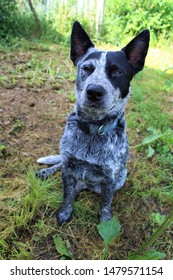 Blue Heeler Dog sitting on grass patch