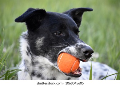 Blue heeler mix poses while chewing on his orange tennis ball