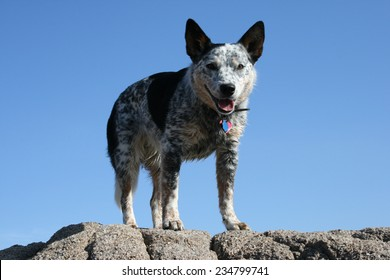 Blue Heeler on Rocks