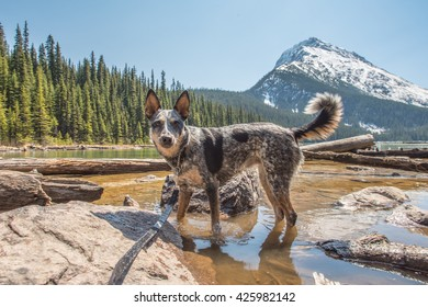 Blue Heeler playing in the water of Geraldine Lake Jasper National Park Alberta Canada