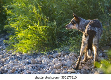 Blue Heeler pup on a rivers edge in summertime