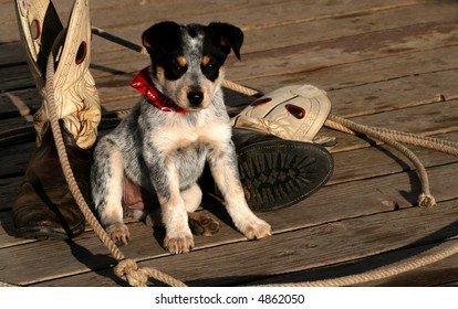 Blue Heeler Pup sitting with lariat and boots