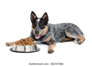 blue heeler puppy with bowl of food isolated white background
