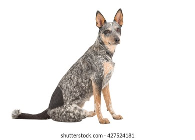 Blue Heeler puppy isolated on white