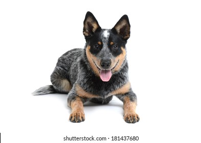 blue heeler puppy laying on white background