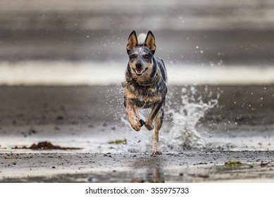 Blue Heeler puppy playing on the beach, Haida Gwaii