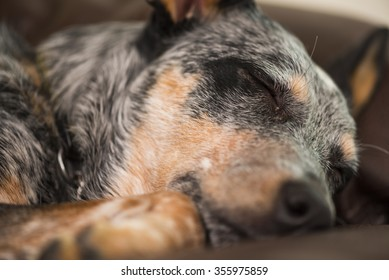 Blue Heeler puppy sleeping