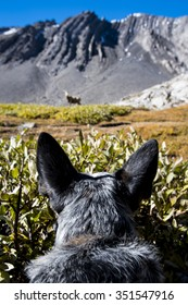 Blue Heeler puppy stalking a wild big horned sheep in the mountains, Alberta Canada