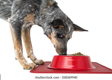 Blue Heeler puppy with water and food dish at feeding time