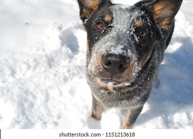 Blue heeler in the snow