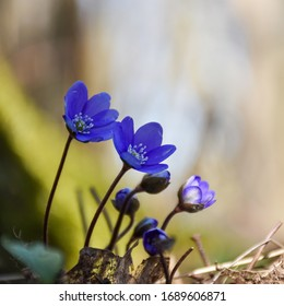 Blue Hepatica flowers just started to bloom by a sunlit background