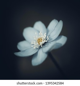 Blue hepatica on a dark black blurred background. Spring flower with white stamens. Macro close-up, side view.