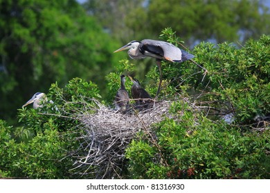 blue heron and 2 baby chicks in the nest