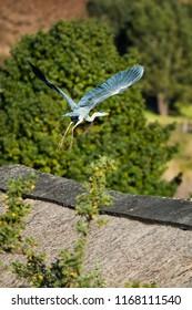 Blue heron in Drakensberg