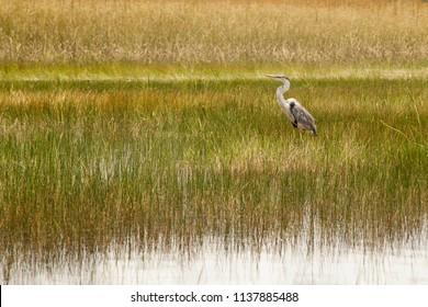 Blue heron in everglades