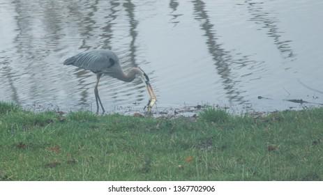 Blue Heron fishing on pond