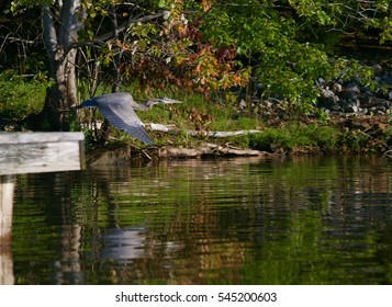 Blue heron flying low near a dock over a lake with reflection below and background leaves beginning to turn to fall colors.