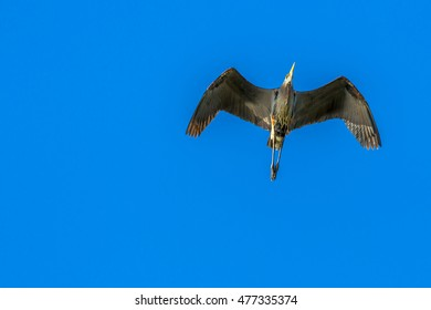 A Blue Heron flying overhead in front of a blue sky.