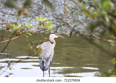Blue heron on the waterside of the pond