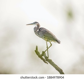 A Blue Heron perched on a piece of dead wood