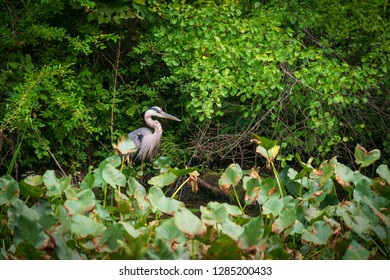 A Blue Heron Posing at Ohio's only National Park, Cuyahoga Valley.