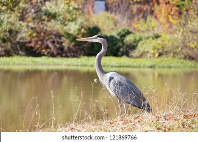 A blue heron stands eloquently in the autumn sunshine at a lakes edge in this Rock Hill, South Carolina park.