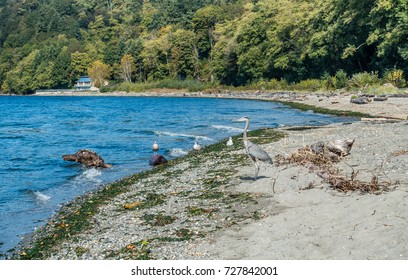 A Blue Heron wades in a pool along the shore in Burien, Washington.