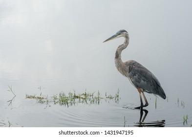 Blue Heron Waiting in Still Water