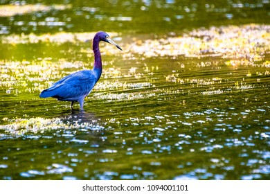 Blue Heron in the wilderness. Seen in 'El Salto del Hanabanilla' which is a natural reserve area in the Caribbean Island