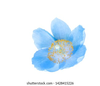Blue himalayan poppy isolated on white background