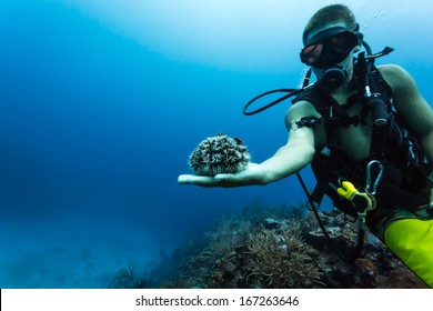 BLUE HOLE, BELIZE - DECEMBER 2: Scuba diver displays large sea urchin on hand while diving at coral reef on December 2, 2013 in Blue Hole, Belize