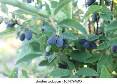 Blue honeysuckle (Lonicera caerulea var. edulis), known also as Honeyberry