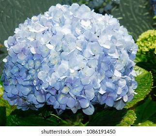 A blue hortencia in the garden