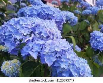 blue hortensia blooming in Amsterdam in Spring