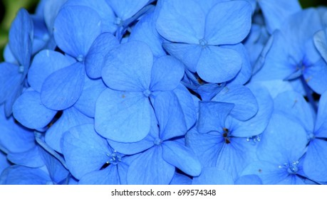 Blue Hortensia (Hydrangea macrophylla) flowers close up