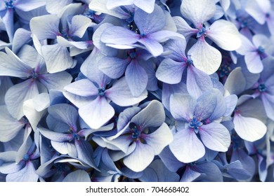 Blue hortensia Hydrangea macrophylla, Soft light blue flowers