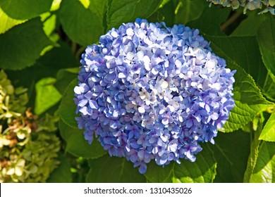 Blue hortensia or purple hortensia bush, close up. Bright green leaves.